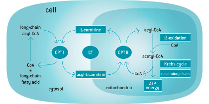 L Carnitine Cycle